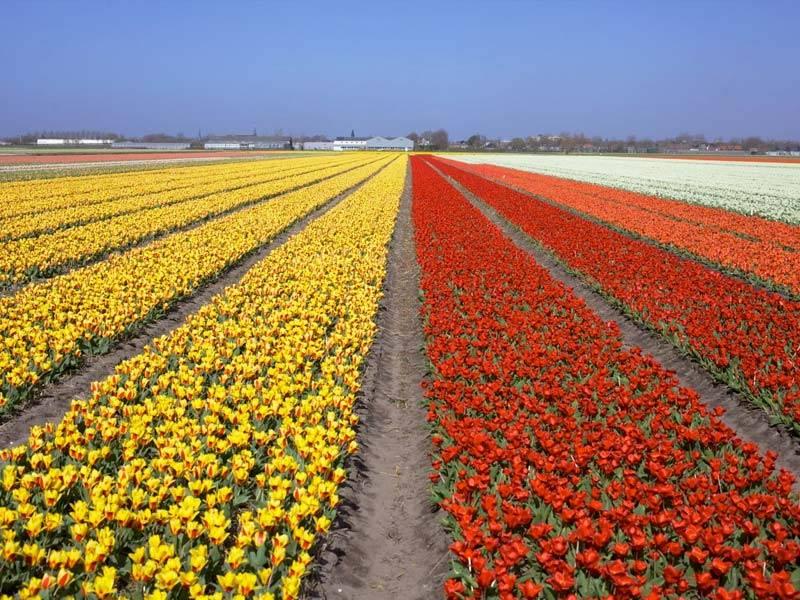campos de tulipas parque keukenhof