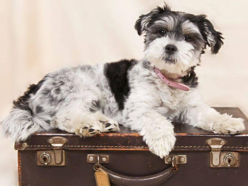 cada vez mais pessoas viajam com seus animais de estimação
