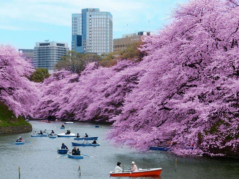 cerejeiras em Tóquio cidade-sede das olimpíadas 2020